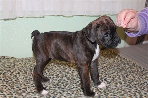 boxer for sale boxer bobtail for sale glasgow lanarkshire pets4homes