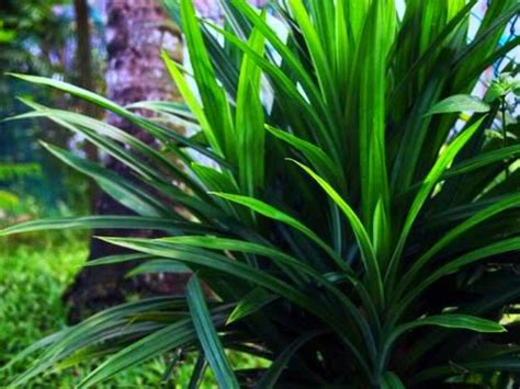 pengusaha tanaman anak pokok pohon pandan  dijual