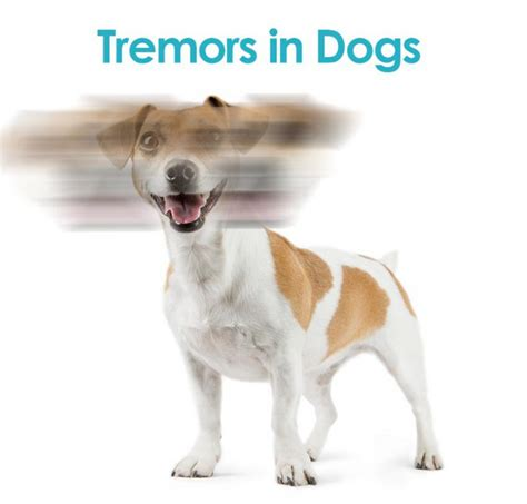 tremors in dogs tremors in dogs does your the shakes allivet pet care
