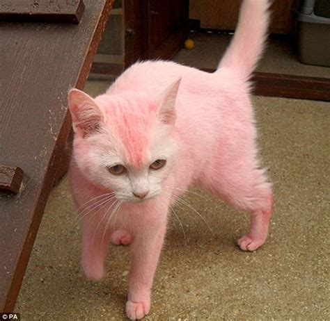 Cats Pink the pink panther of swindon white cat is abandoned after