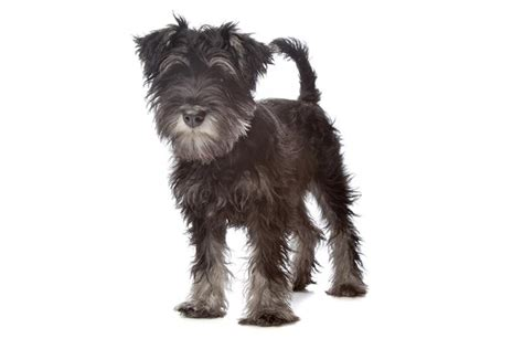 miniature schnauzer dog breed miniature schnauzer6 jpg miniature schnauzer dog breeds