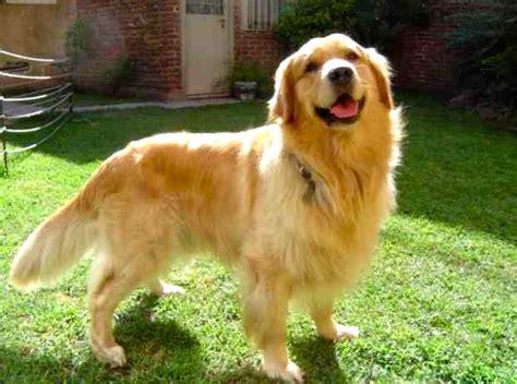 golden retriever negro golden retriever caracter 237 sticas y cuidados razas de perros