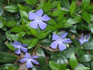 vinca minor lesser periwinkle go botany
