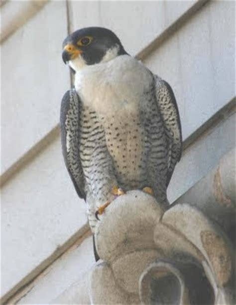 columbus peregrine falcon update cleveland s loss hits