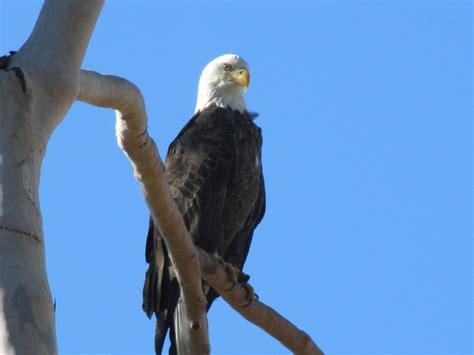 bald eagle birds guide birds