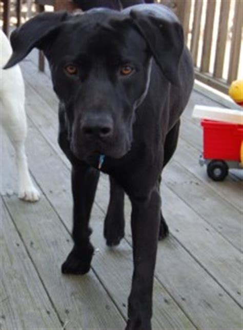 black lab great dane mix puppy labradane great dane lab mix info puppies and pictures