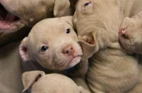 baby pitbull puppies tag for baby pitbulls litle pups