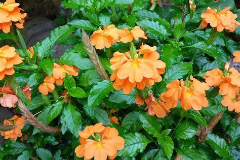 tips on how to grow crossandra plants indoors