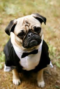 pug ring bearer pet ring bearer pillow ring bearer ring bearer harness