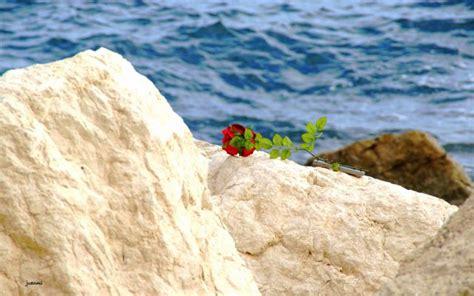 imagenes rosas en el mar rosa en el mar fotos de curiosas