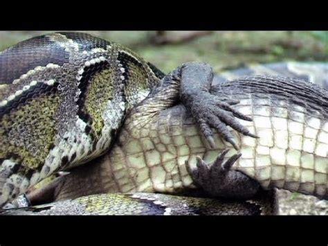python eats alligator  time lapse reverse youtube