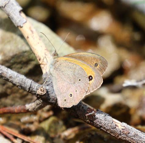 Chia Brown maniola chia chios meadow brown butterflies satyrinae