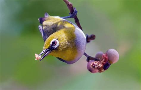 Pakan Burung Walet Terbaik 10 buah dan sayur terbaik untuk burung pleci serta 3
