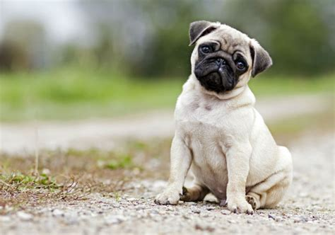 where did pugs originate 10 things you didn t about the pug american kennel club