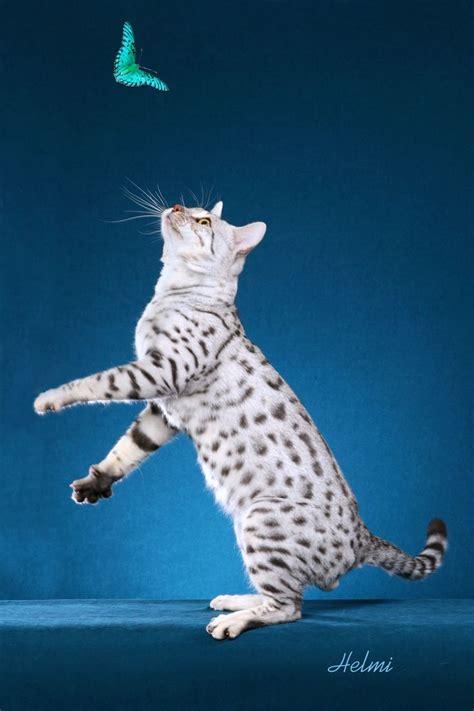 white bengal cat kittens best 25 white bengal cat ideas on pinterest bengal cats