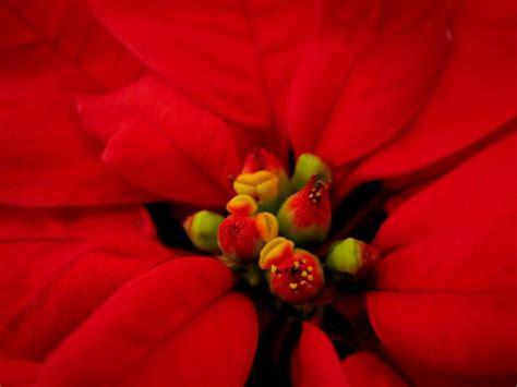 una imagen hermosa de navidad poinsettia la hermosa flor de la navidad blog verdecora