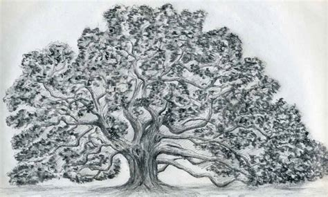 oak tree drawing draw an oak tree angel oak tree