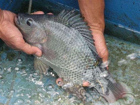 Bibit Ikan Koi Ponorogo cara simple budidaya ikan nila supaya panen berlimpah