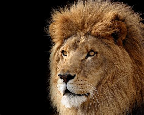 apple wallpaper os x lion mac os x the lion apple systems official hd wallpapers 14