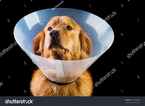 golden retriever neutering recovery golden retriever wearing elizabethan collar stock photo 132894368