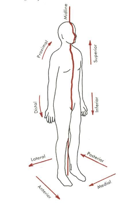 anatomical position diagram image gallery directional terms