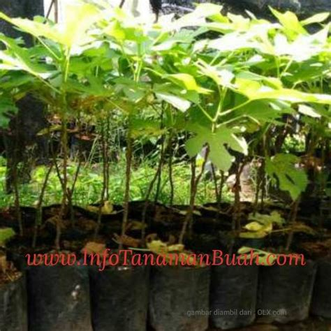 Bibit Buah Tin Green Yordan bibit tin green info tanaman buah