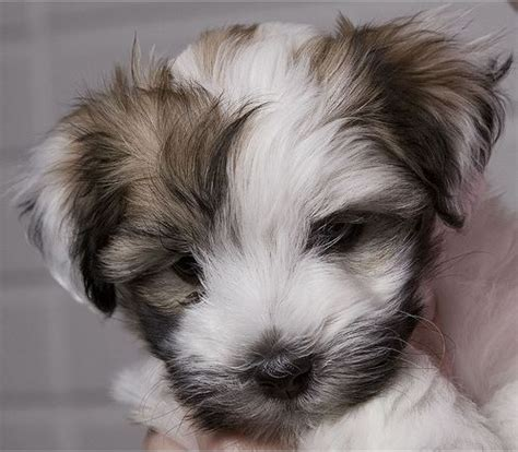 haired havanese hair havanese puppy looking so jpg