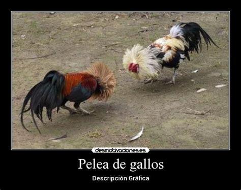 imagenes de gallos con frases newhairstylesformen2014 com imagenes con frases de gallos newhairstylesformen2014 com