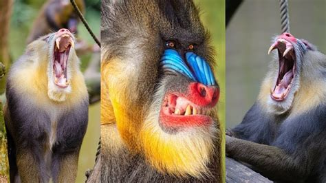 mandrill extremely colourful mammal youtube