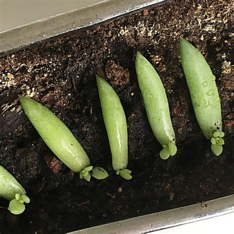 Propagating Succulents Can Be Done By Using The Offsets - the best way to propagate succulents from leaves wikihow