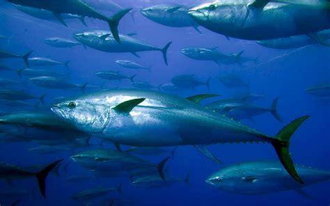 Pancing Ikan Tuna jenis ikan pelagis lengkap dengan contohnya gomancing