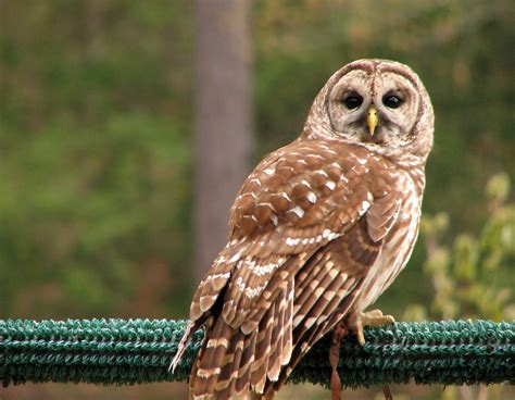 owl free stock photo close up of a barred owl 4564