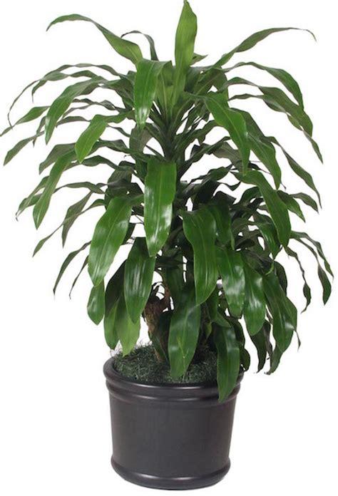 Low Light Tropical Plants - janet craig dracaena chicago office plants
