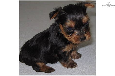 country yorkies puppies for sale from country yorkies nextdaypets