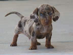 bluetick coonhound chocolate lab mix gallery for gt australian shepherd dachshund mix