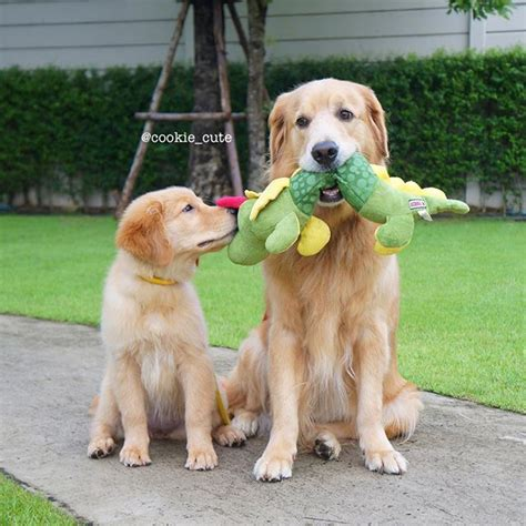 best toys for golden retrievers toys for golden retriever wow