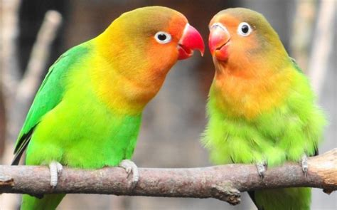 Multi Bird Pakan Burung Parrot gambar seputar lovebird blorok burung unik cantik
