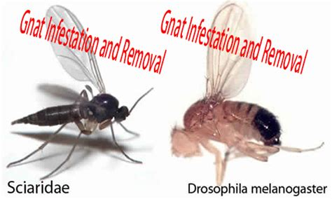 gnats in my house how to get rid of gnats how to get rid of fruit flies