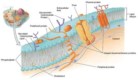 carbohydrates of the plasma membrane 9 best images about plasma membrane structure lipids and