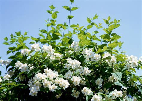 wallpaper bunga melati gambar bunga melati indah dan wangi kumpulan gambar