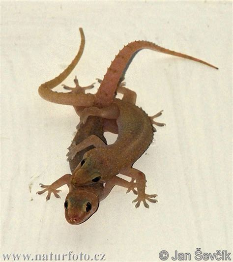 house lizard common house gecko photos common house gecko images nature wildlife pictures