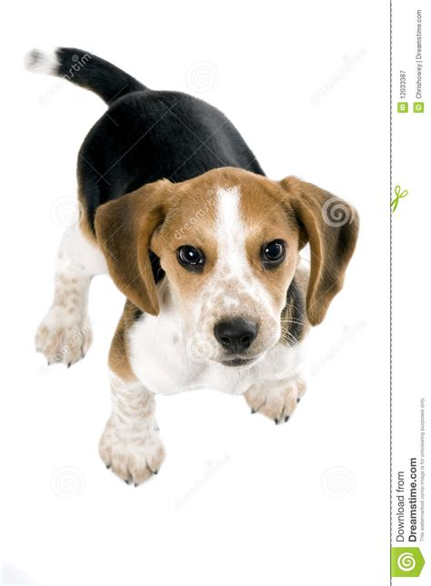 looking for free puppies beagle puppy looking up royalty free stock photography image 12033387