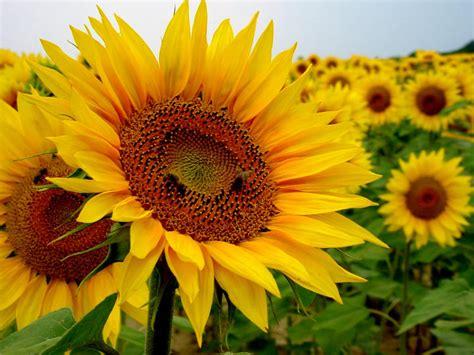 imagenes de flores de girasol 10 flores y su significado 1001 consejos