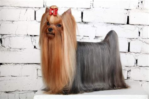 female yorkie haircuts yorkie haircuts for males and females 60 pictures