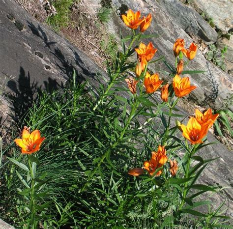 fiori s lilium bulbiferum giglio di san