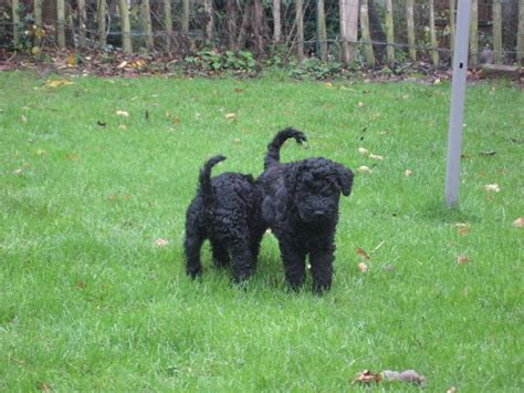 kerry blue terrier puppies for sale fantastic kerry blue terrier puppies for sale coventry west midlands pets4homes