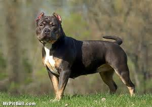 tri color pit tri color pitbull kennels breeds picture