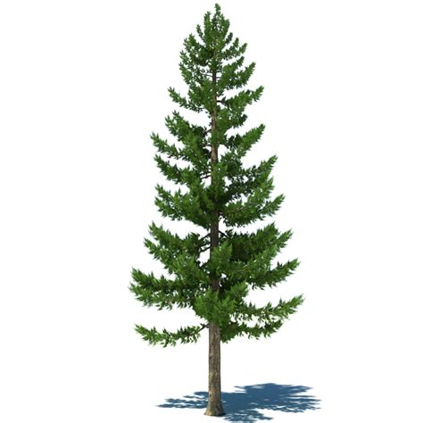 pine tree clipart softwood pencil and in color pine tree