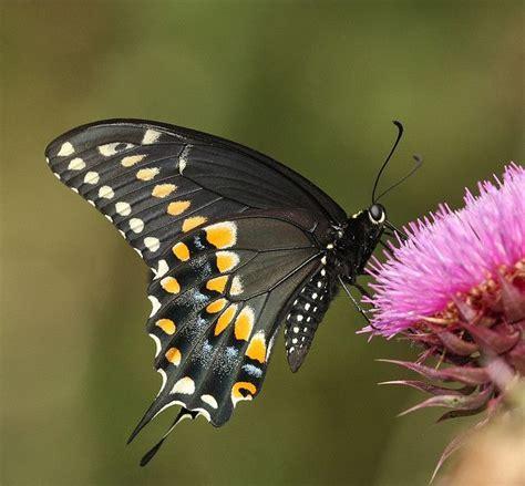 black swallowtail butterfly black swallowtail butterflies pinterest