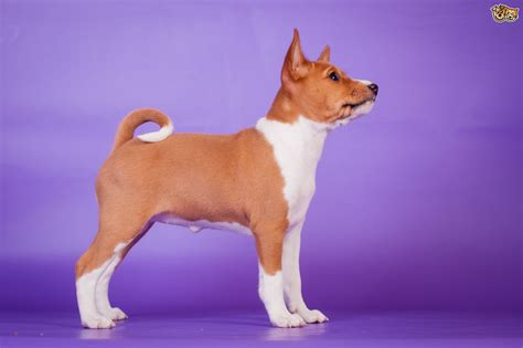 basenji puppies price basenji breed information buying advice photos and facts pets4homes